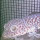A.Kriteria Tokek/GECKO RedSpots & Purplespots  1.Berupa Binatang Reptil bernama Tokek, dan bisa berbunyi seperti Tokek pada umumnya.  2.Badan seperti cicak, Warna berbintik merah/putih/abu2 kuning dan berdada kekuningan.  3.Tokek dalam keadaan sehat, tidak luka yang mengancam jiwa Tokek tersebut.  4.Bentuk Tokek Proporsional dengan KEPALA harus lebih LEBAR dari badannya/perut (perut tidak boleh buncit) dan seperti tokek pada umumnya.  5.Binatang Reptil Tokek yang alami / liar dan memiliki sifat agresif dan responsif.  6.Tokek dapat merayap di dinding tembok,kayu dan kaca, karena memiliki perekat alami pada ke-4 kakinya.  7.Binatang Tokek tersebut nyata (tidak Ghoib), dapat dilihat,disentuh, tidak ada rekayasa dan tipuan.  8.Memiliki berat minimal 330gr paket 8ekor atau 380gr/ekor.